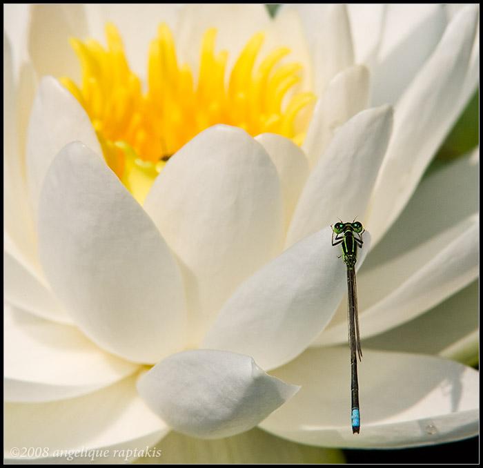 _ADR7126 lily damsel wf.jpg