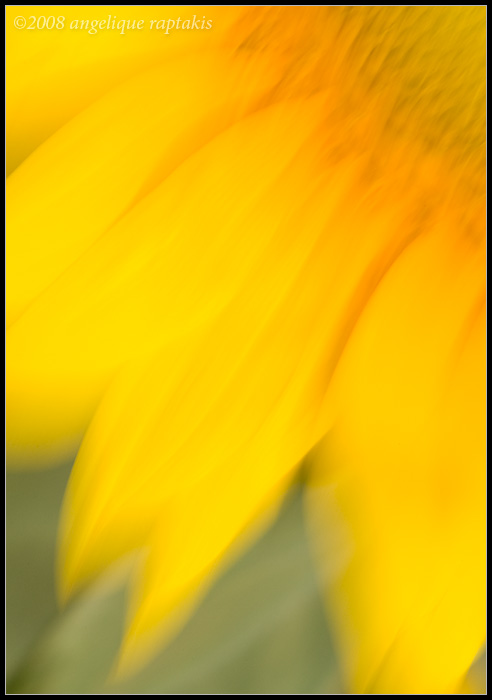 _MG_8823 sunflower cewf.jpg