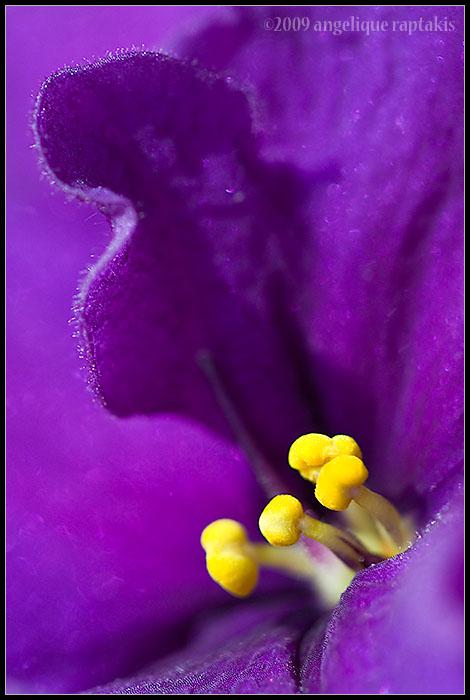 _MG_9782 african violet wf.jpg