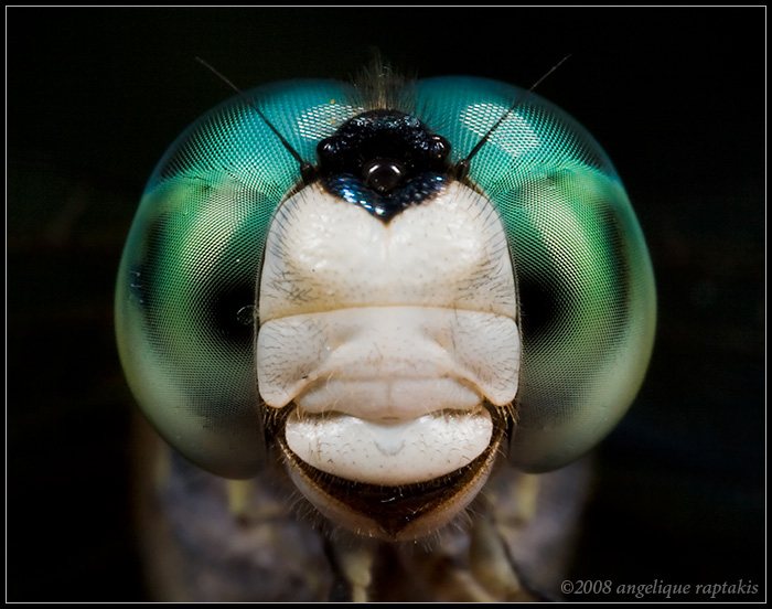 _MG_5138 dragonfly cwP.jpg