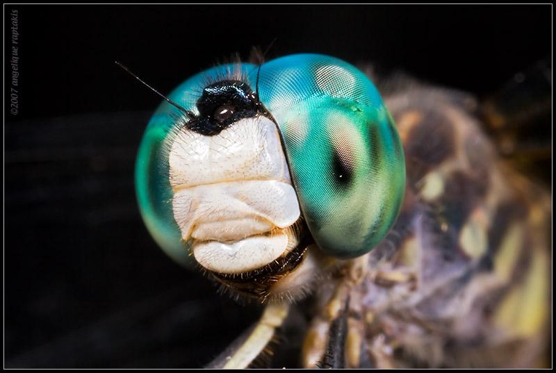 _MG_5163 dragonfly 2wf.jpg