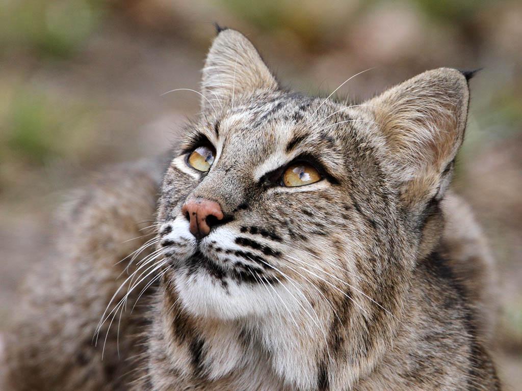 Fierce aggressive dangerous Bobcat ONE block from my house
