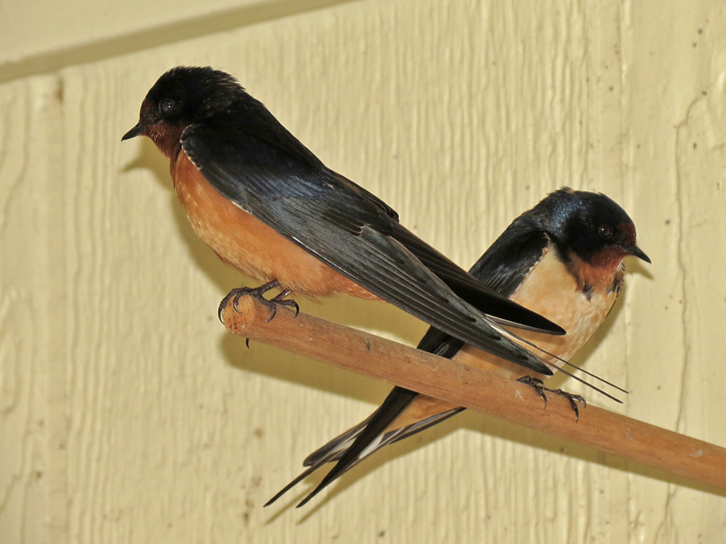 how to keep barn swallows from nesting on your house