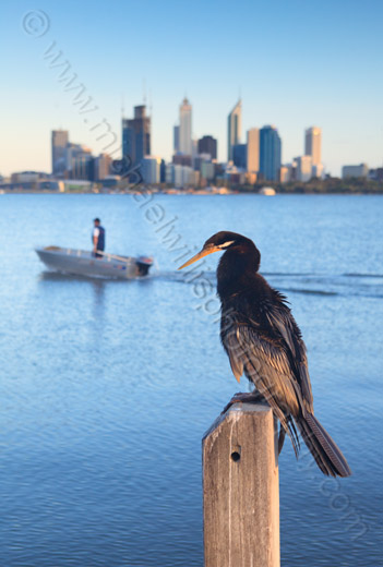Australasian Darter by The Swan River