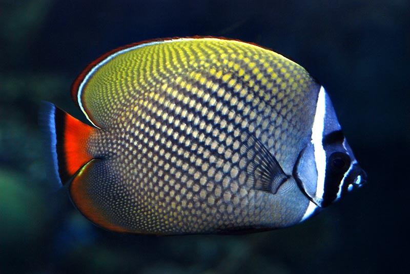 redtailed butterflyfish
