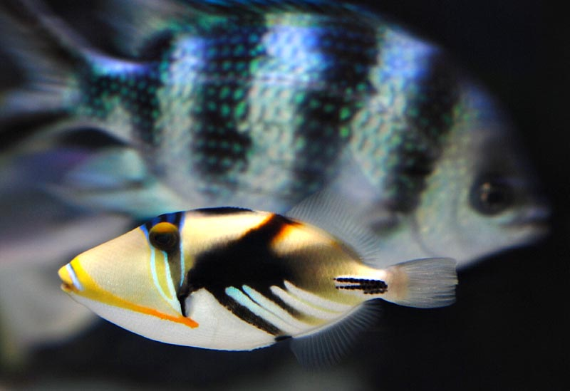 Baby Picaso Triggerfish