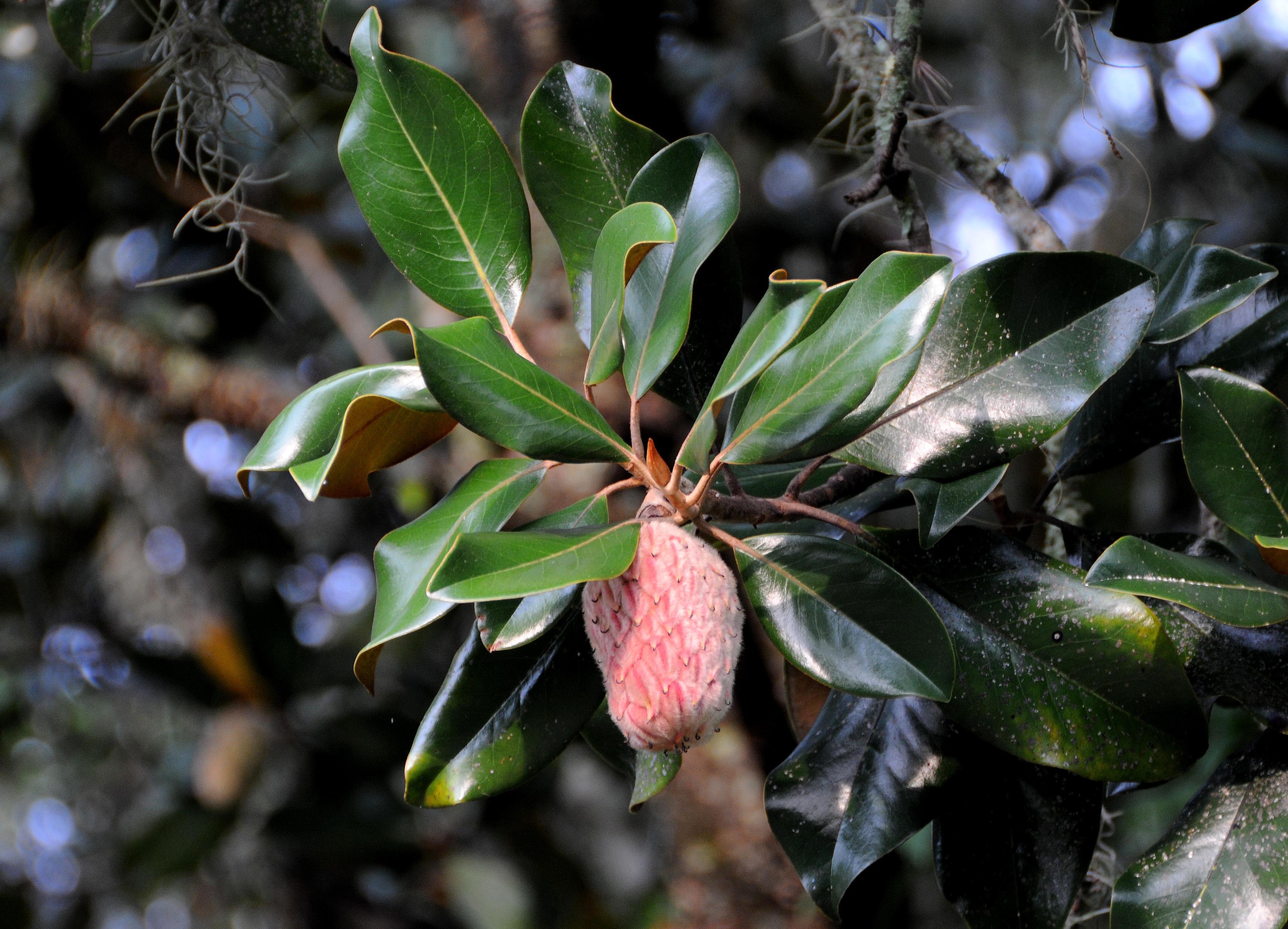Magnolia Tree Seed Pod Photo Hubert Steed Photos At Pbasecom