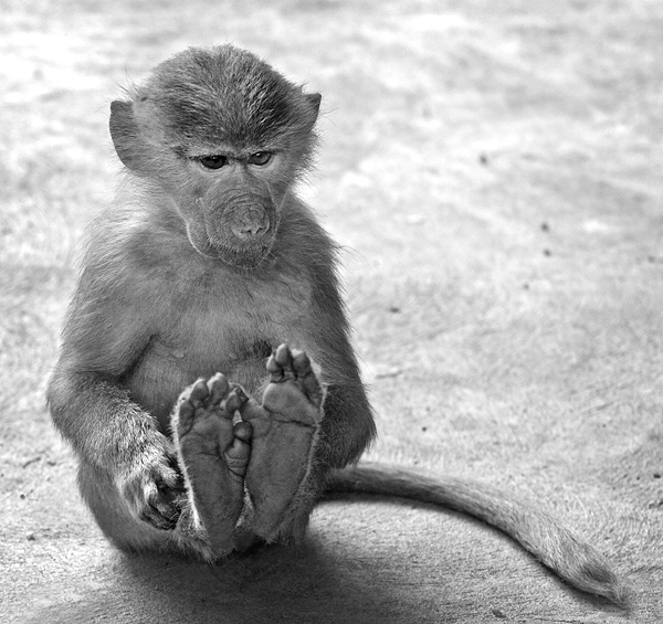 Baby Baboon puts his feet up.
