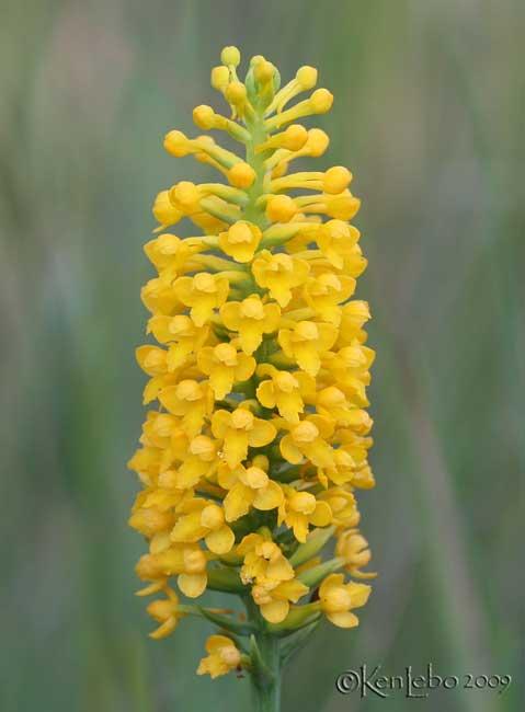 Southern Yellow Orchis Platanthera integra