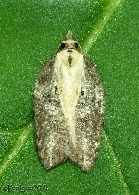 Multiform Leafroller Moth Acleris flavivittana #3542
