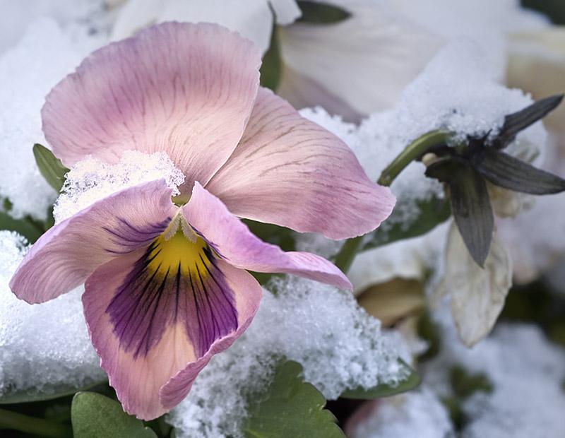 Pensée (de Marielou) sous la neige
