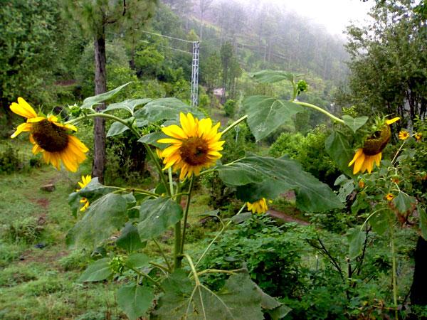 Flowers in Hallan