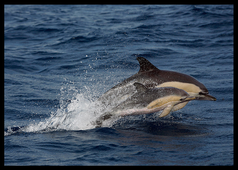 Common Dolphins (Mother and baby!) - The Azores 2006