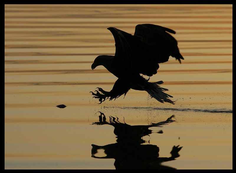 White-tailed catching fish in sunset