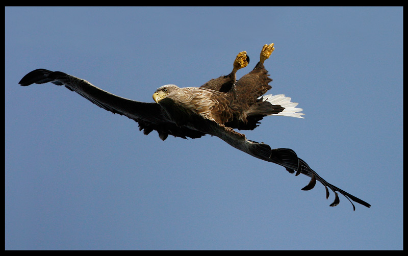 Where are the fish??? White-tailed Eagle falling quickly down to sea level