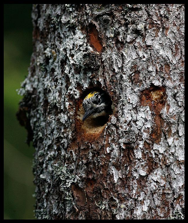 Three-toed Woodpecker in nesting hole near Levanger