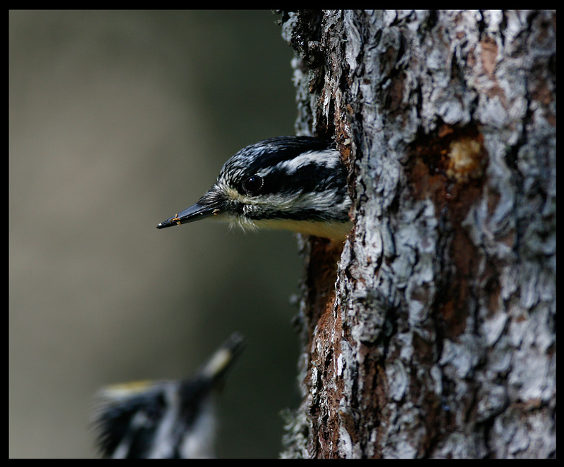 Three-toed Woodpecker male waiting for female to get out...