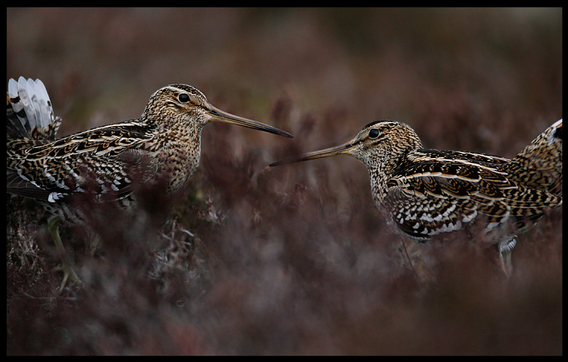 Great Snipe - one of four species gathering on a lek