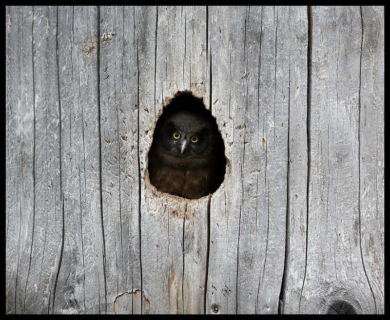 A curious young Tengmalm`s Owl