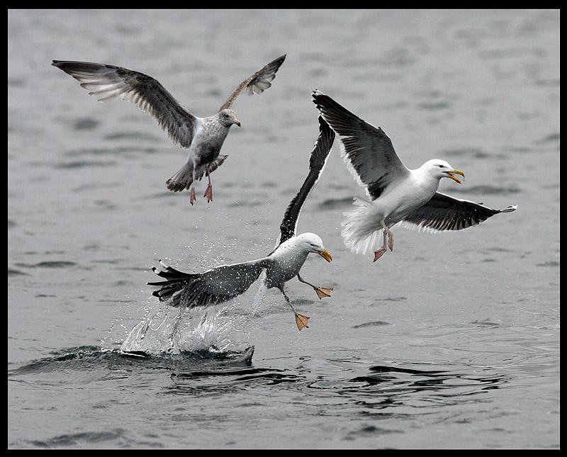 Unhappy landing -Great Black-backed Gulls