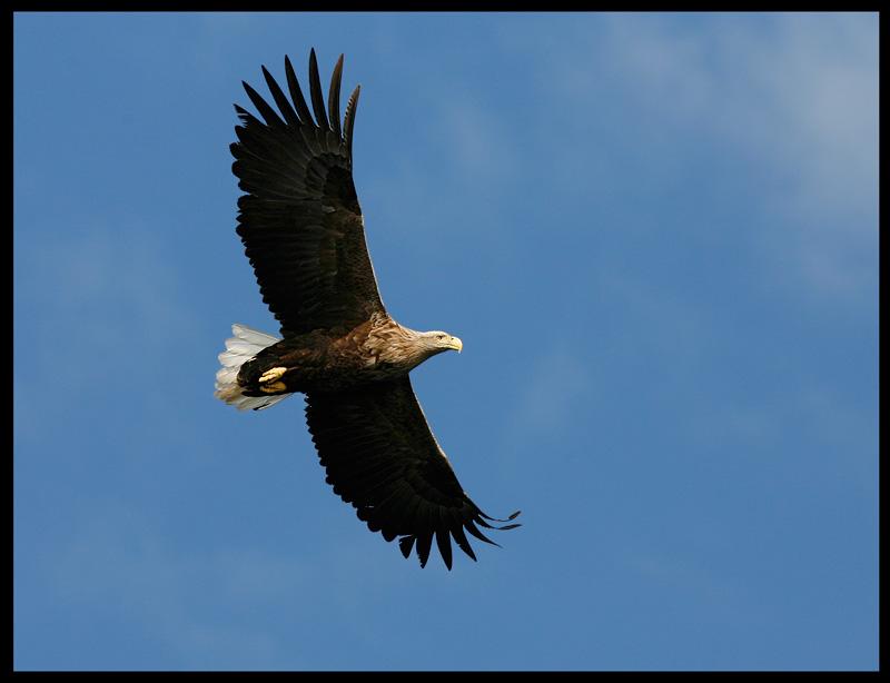 White-tailed Eagle soaring
