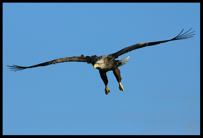 White-tailed Eagle concentrating on prey
