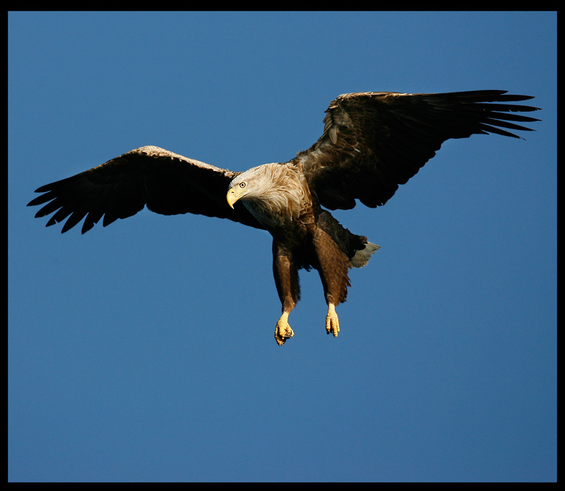 White-tailed Eagle approaching