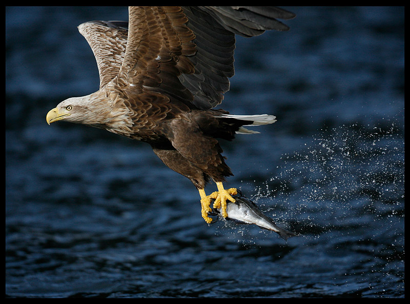 White-tailed Eagle - master fisherman
