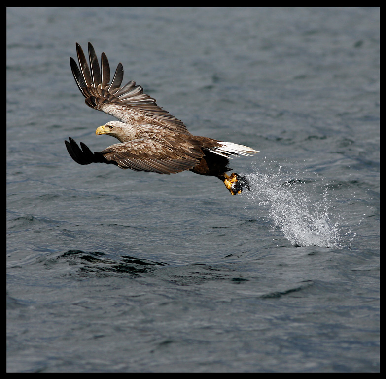 White-tailed Eagle catching fish - Norway