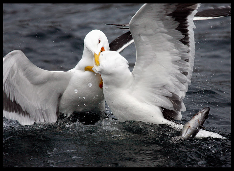 If I don`t get - You don´t get !!  Great Black-backed Gulls fighting