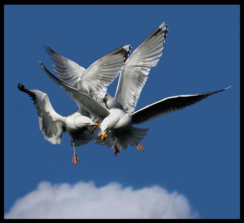 Herring Gulls fighting over some bread - Norway