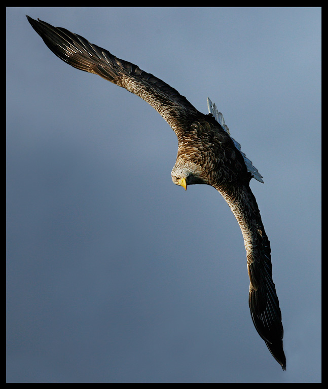 Impressive eagle turning around in the air