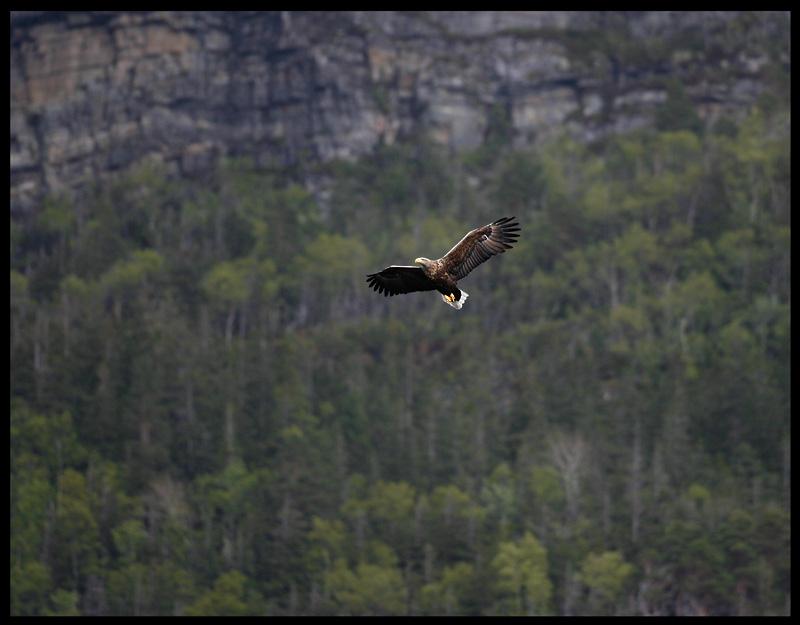 Male eagle near his breeding cliffs