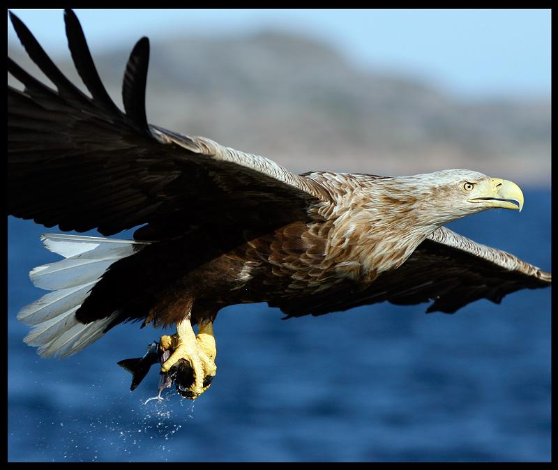 Close encounter of White-tailed Eagle