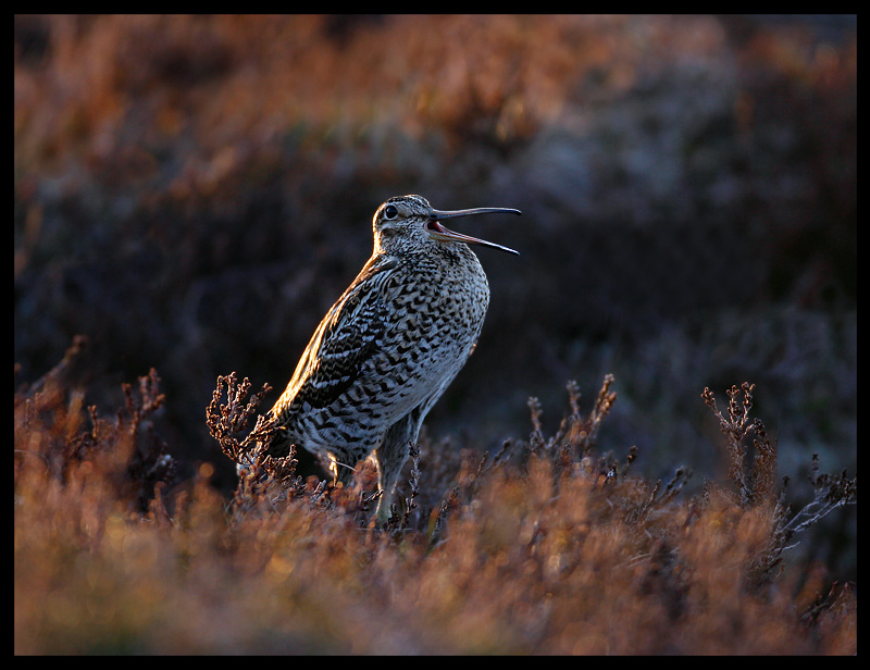 Great Snipe starting the lek in late evening light