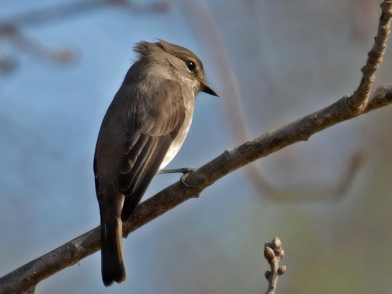 African Dusky Fly Catcher