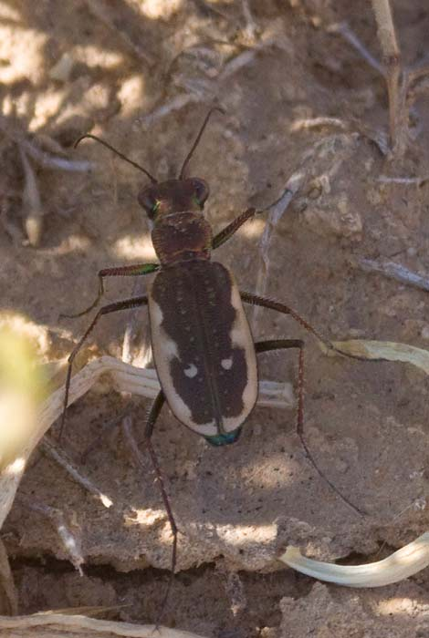 Sidewalk or Punctured Tiger Beetle