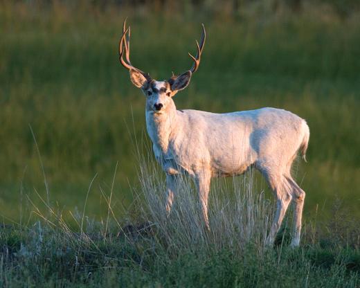 Meekers White Mule Deer Buck