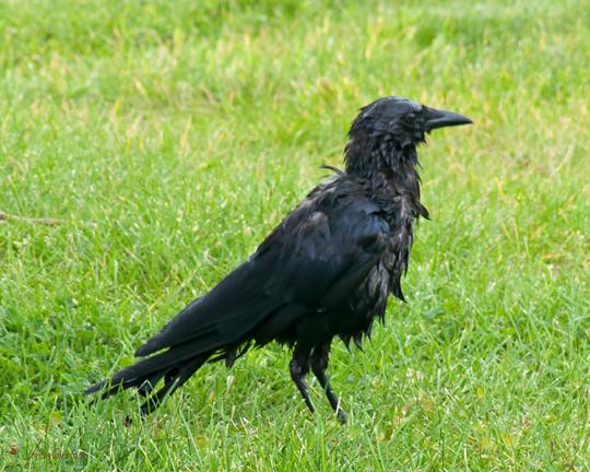 z P1090408 Crow freshly bathed.jpg