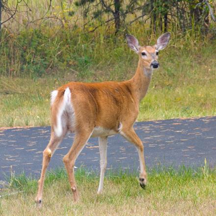 zP1010773 Deer in Montana yard - thru window glass.jpg