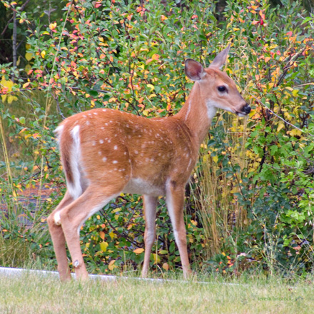 zP1010774 Young deer hears photographer - thru home window.jpg