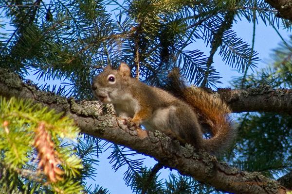 zP1010806 Squirrel on branch.jpg