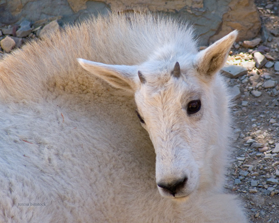 zP1010981 Mountain goat kid rests in shade on Hidden Lake Trail.jpg