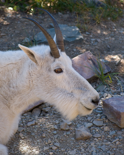 zP1010983 Mountain goat nanny cools in shade on trail.jpg