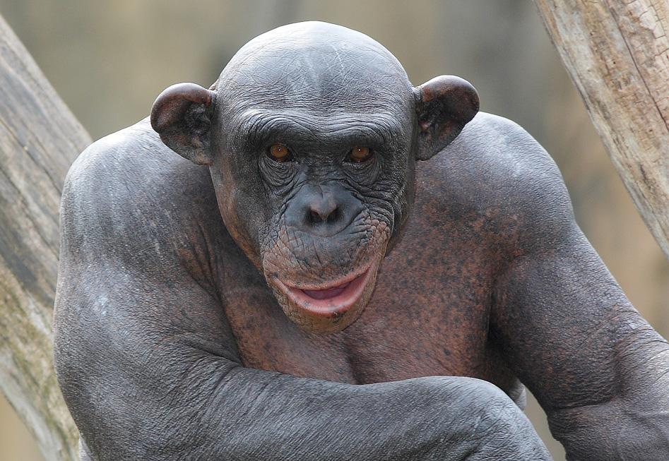 Cinder the hairless chimp