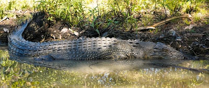 Crocodile in Mary River