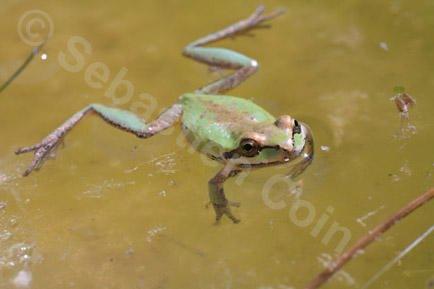 Nevada Desert Frog.jpg