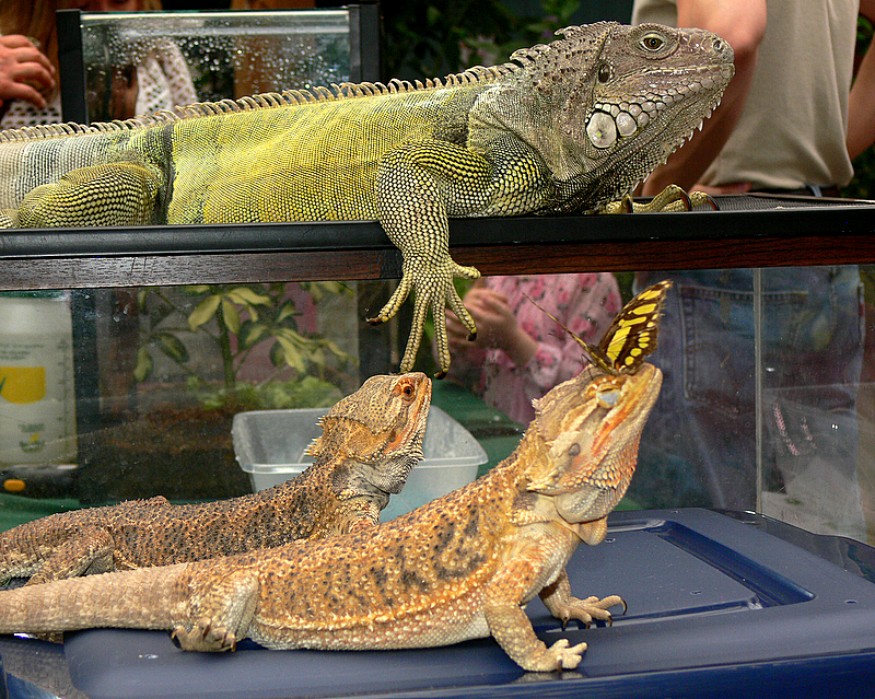 Iguana & Bearded Dragons