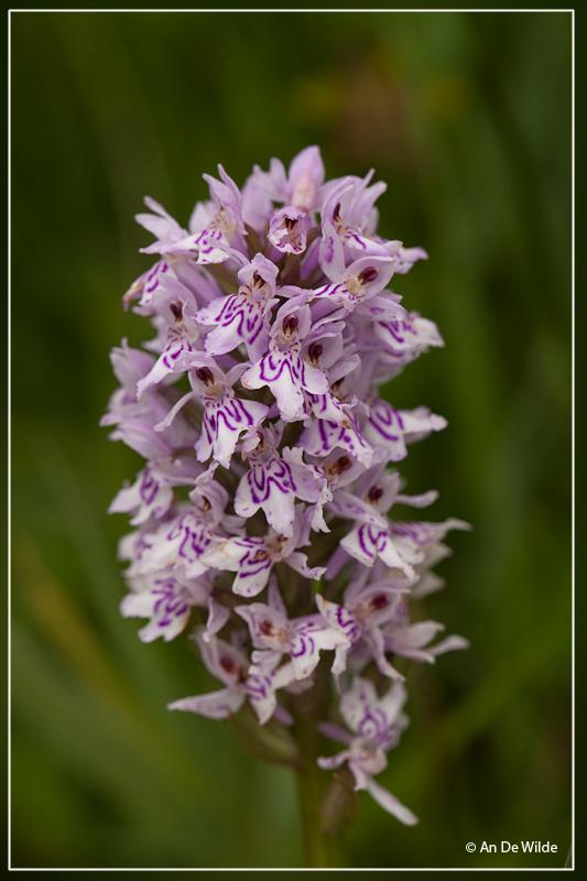 Bosorchis  - Dactylorhiza fuchsii