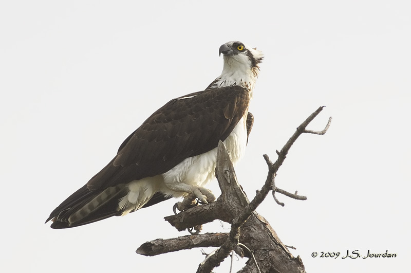 Osprey9269b.jpg